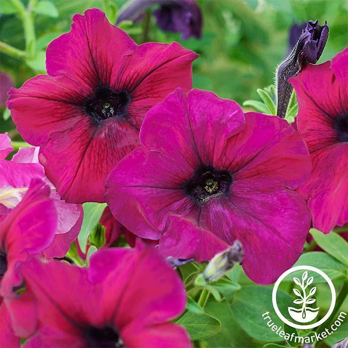 Petunia - Madness Series - Burgundy