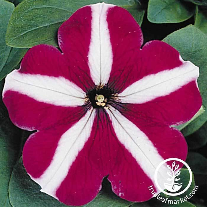 Petunia - Madness Series - Burgundy Star