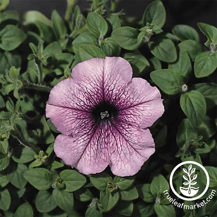 Petunia Flower Seeds - Madness Series - Orchid
