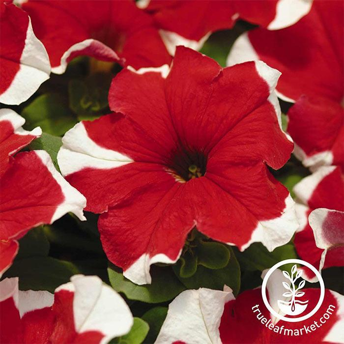 Petunia - Madness Series - Red Picotee