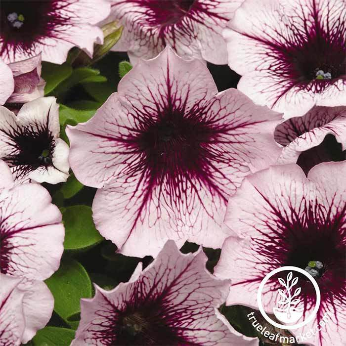 Petunia - Madness Series - Plum Crazy