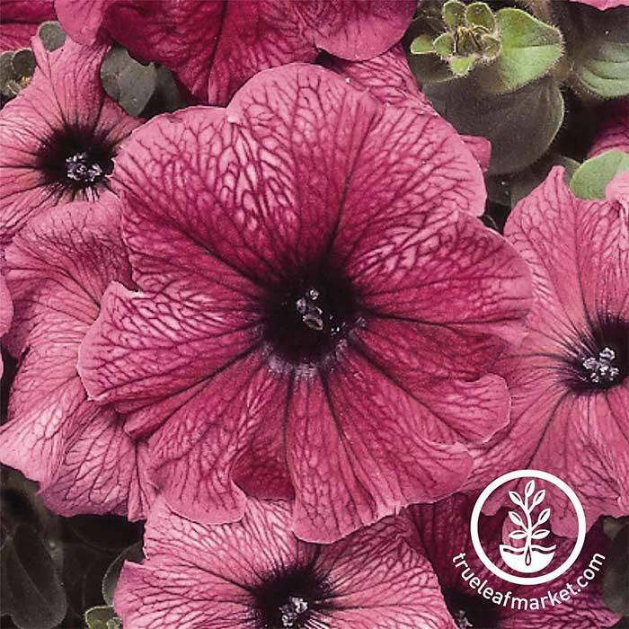 Petunia - Madness Series - Plum