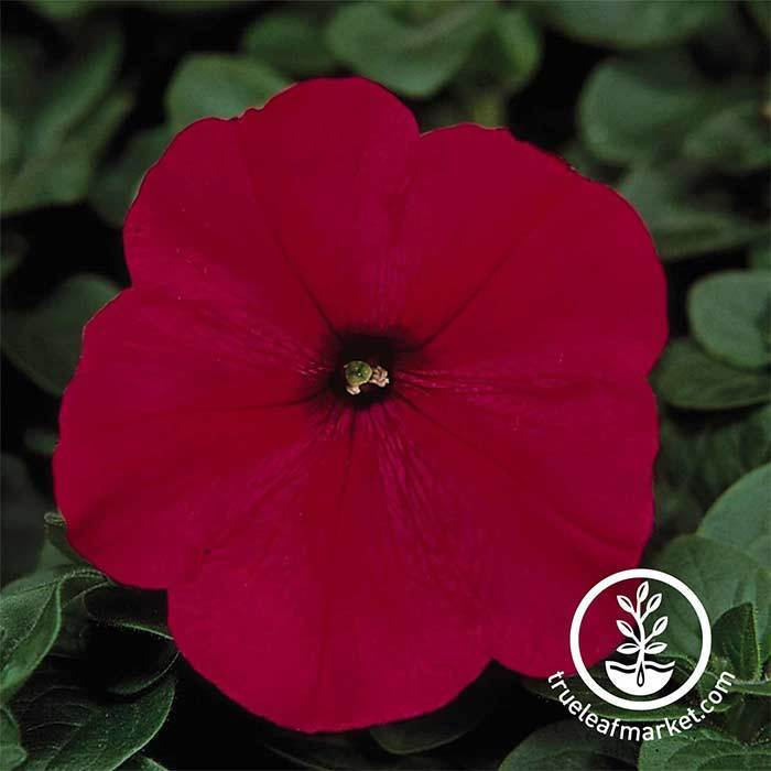 Petunia - Madness Series - Red