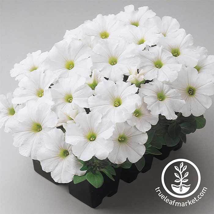Petunia - Madness Series - White