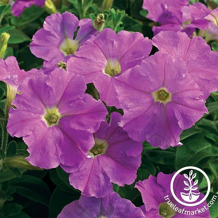 Petunia - Picobella Series - Light Lavender