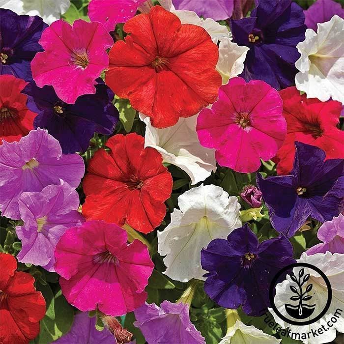 Petunia - Picobella Series - Mix