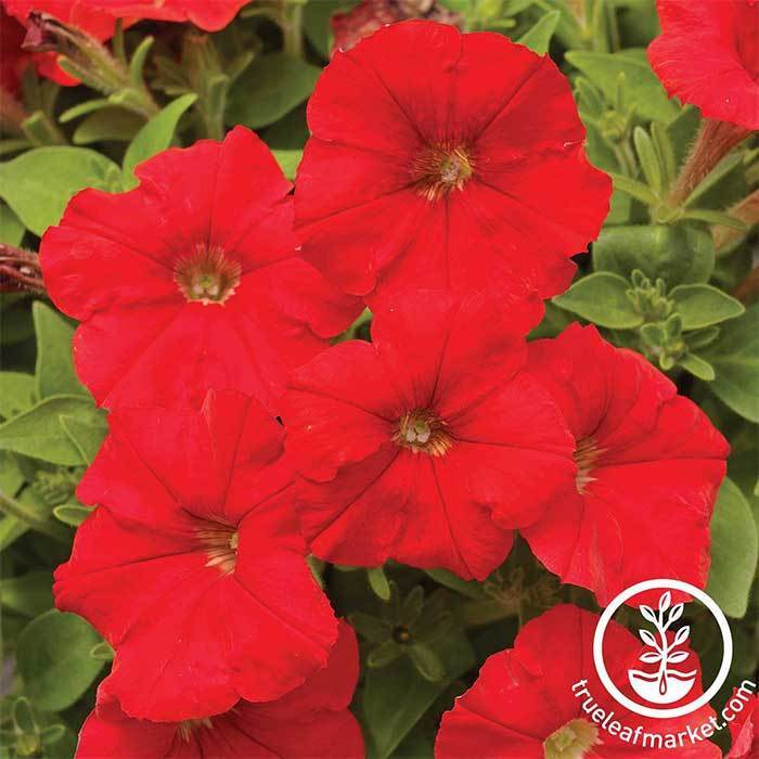 Petunia - Picobella Series - Red