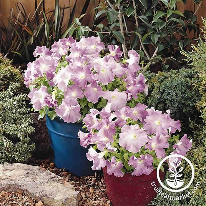 Petunia Supercascade Series pelleted Lilac Seed