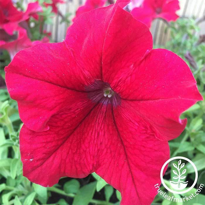 Petunia Supercascade Series pelleted Rose Seeds