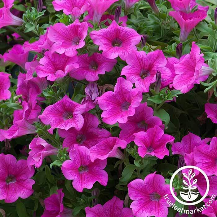 Petunia Supercascade Series pelleted Pink Seed