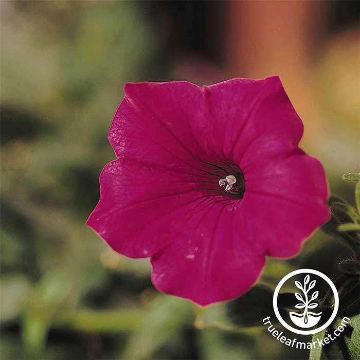 Petunia Tidal Wave Series (pelleted) Cherry Seeds
