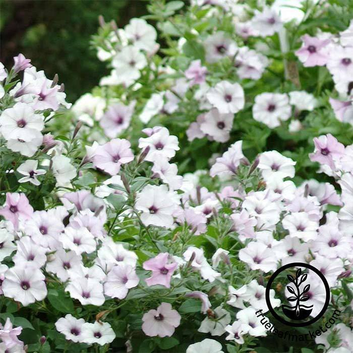 Petunia Tidal Wave Series pelleted Silver Seed