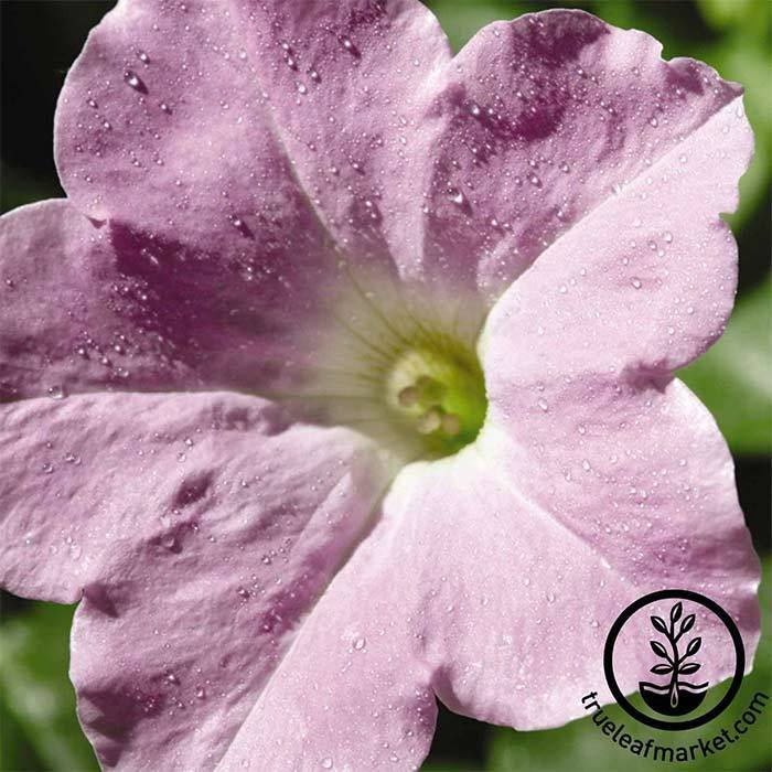 Petunia Wave Series pelleted Misty Lilac Seed