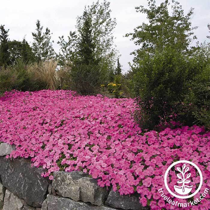 Petunia Wave Series pelleted Pink Seed