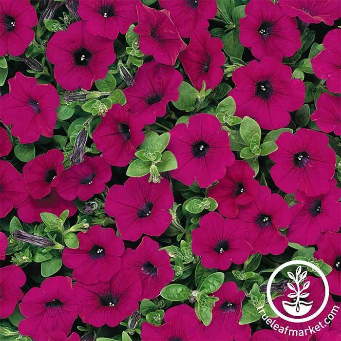 Petunia Wave Series pelleted Purple Seed