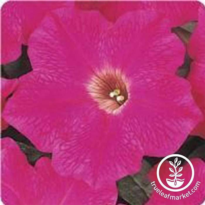 Petunia Flower Seeds - Wave Series