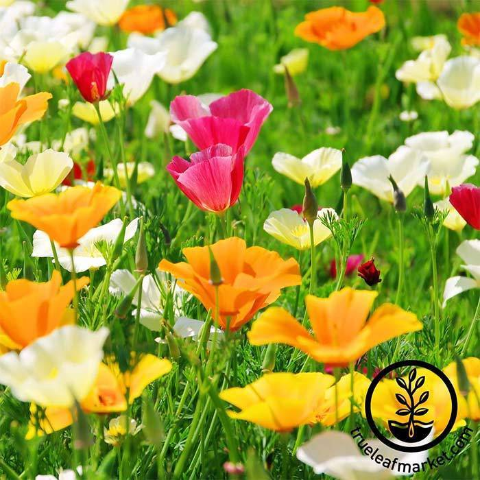 Califonia Poppy Flower Seeds Mission Bells Annual Flower Gardening