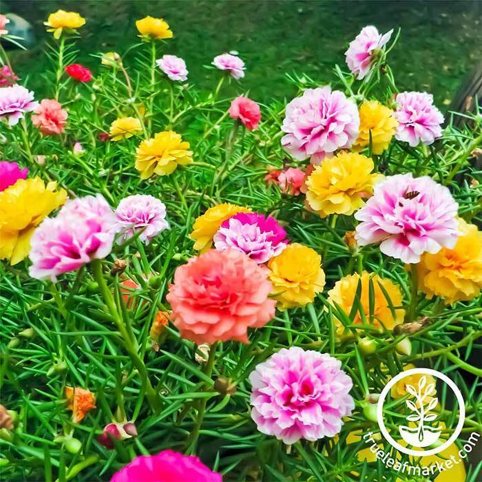 Portulaca Double Mix Seeds