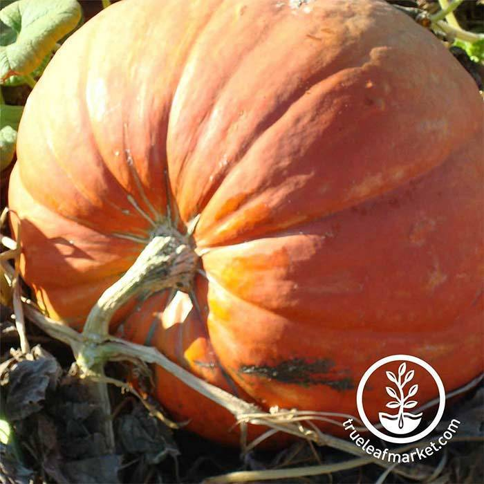 Big Max Pumpkins Treated