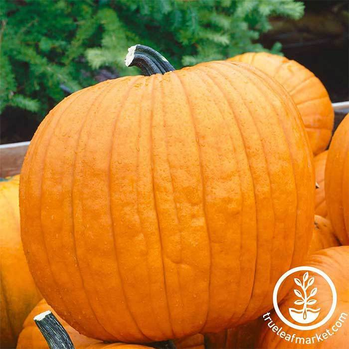 Pumpkin Howden Treated Seed