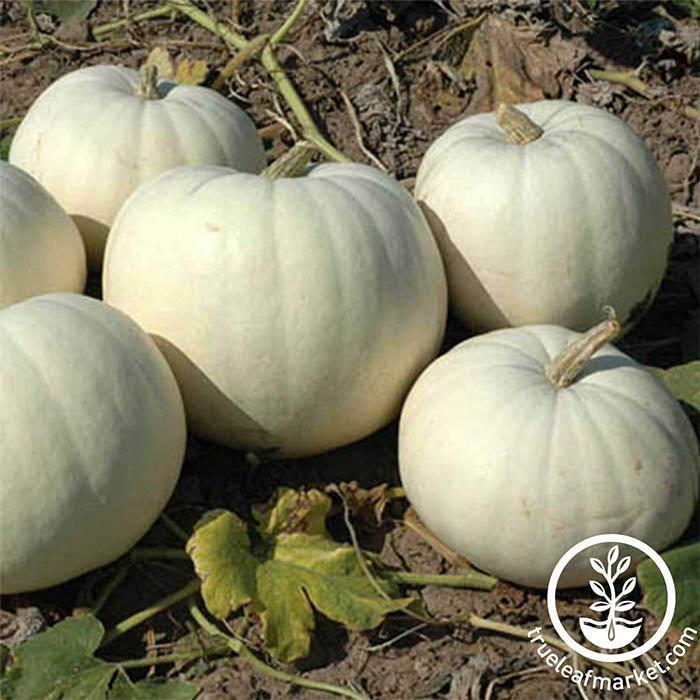 New Moon Hybrid Pumpkin