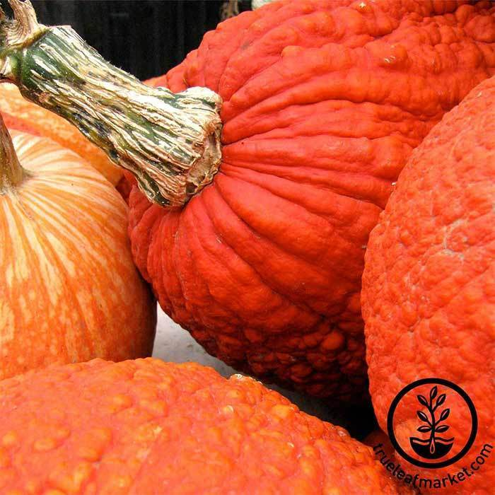 Pumpkin Red Warty Thing Treated Seed