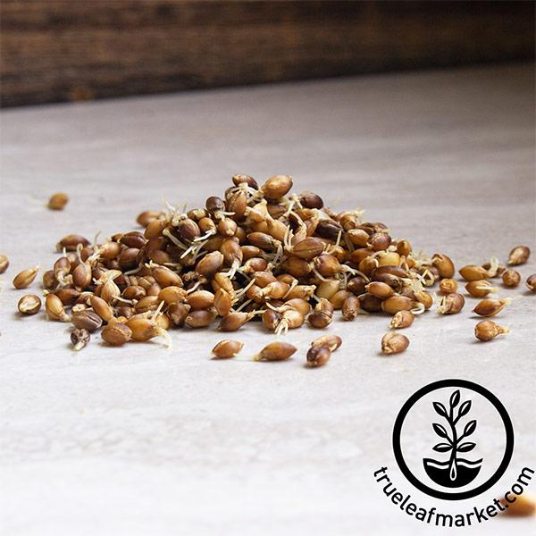 Barley - Purple (organic) - Sprouting Seeds