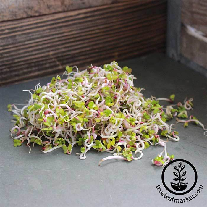 Radish Seeds - China Rose - Organic - Sprouting Seeds