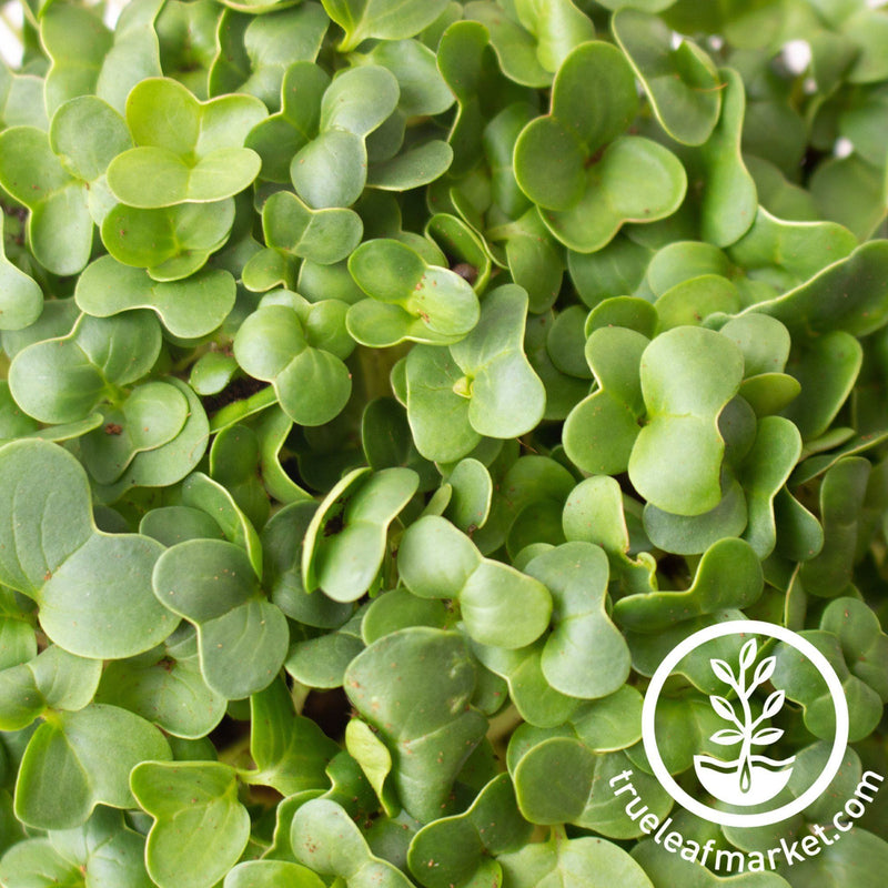 microgreens closeup