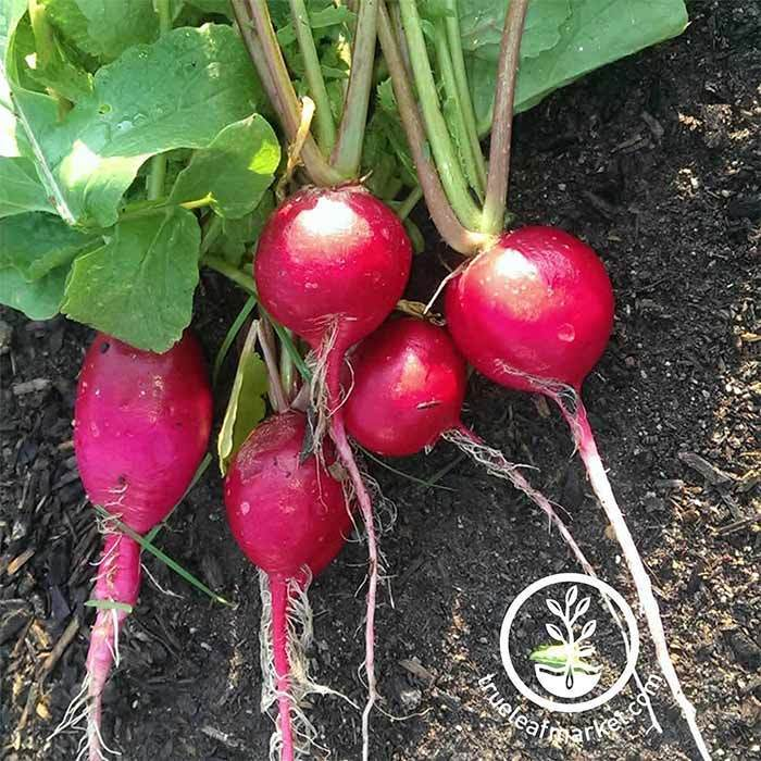 Radish German Giant Seed