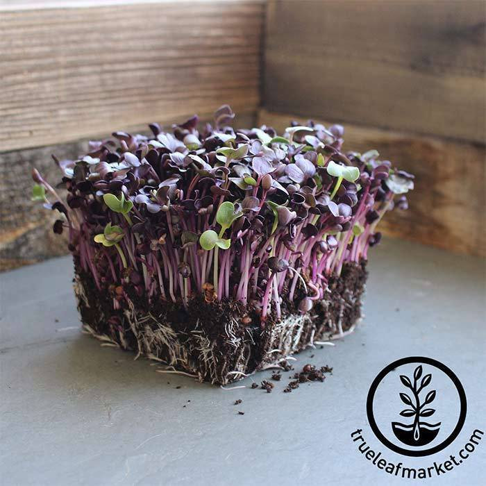 Radish - Sango Purple - Microgreens Seeds
