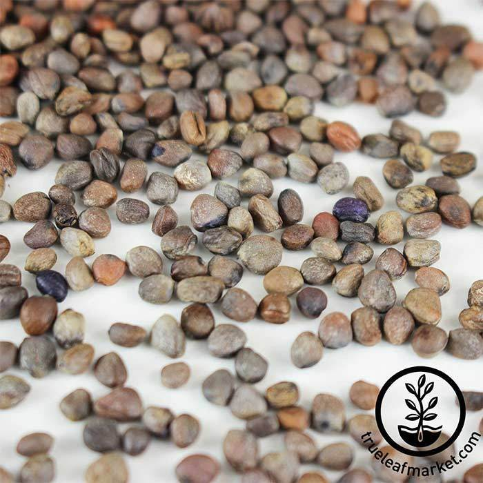 Radish - Sango Purple (organic) - Microgreens Seeds Close Up