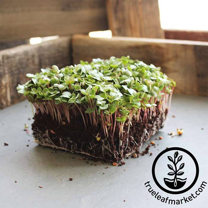 Radish Seeds - China Rose - Organic - Microgreens Seeds
