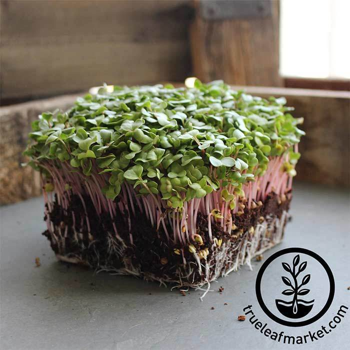 Radish - Red Arrow - Microgreens Seeds