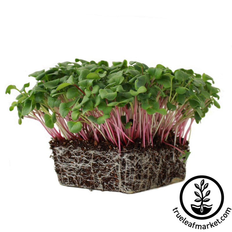 Radish - Triton Purple - Microgreens Seeds