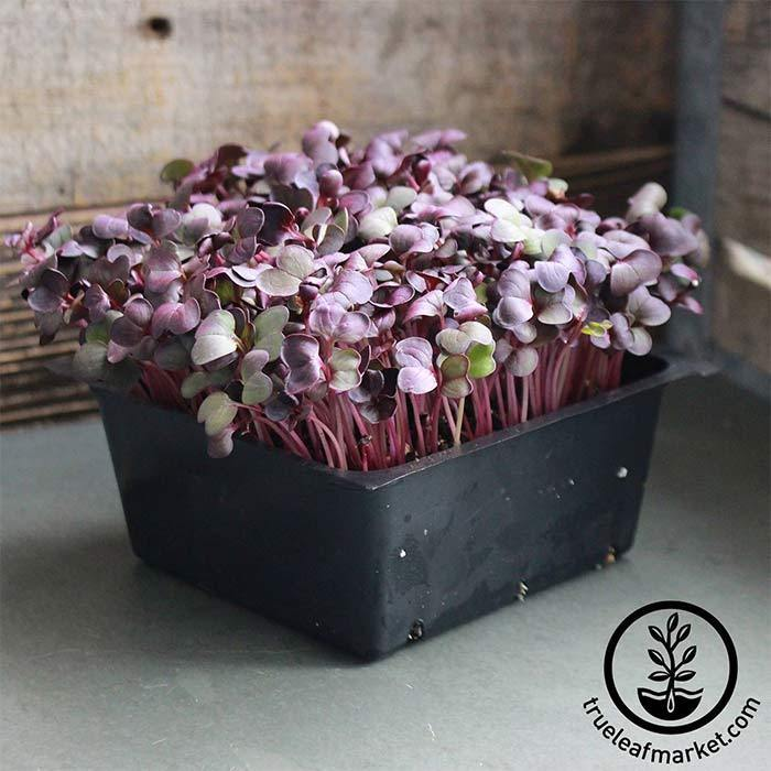 Radish Seeds - Red Vulcano, Organic - Microgreens Seeds