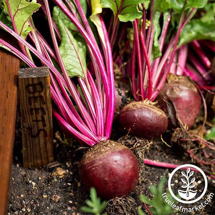 Beet - Red Ace Hybrid Garden Seeds