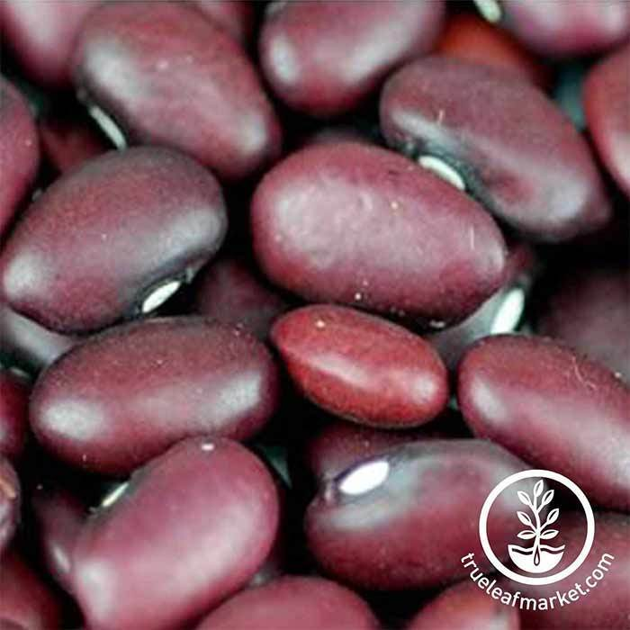 Beans - Red Small (organic) - Sprouting Seeds