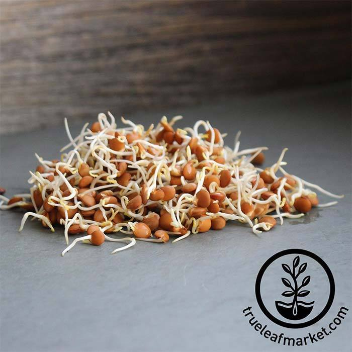 Lentils - Red (organic) - Sprouting Seeds