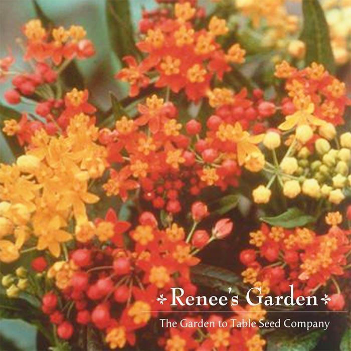 renees asclepias bright wings