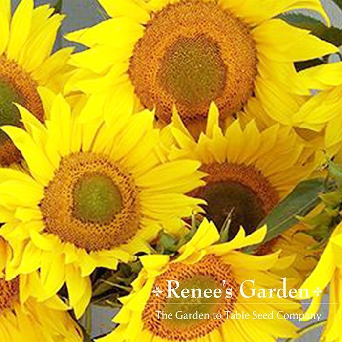 renees birds and bees sunflower