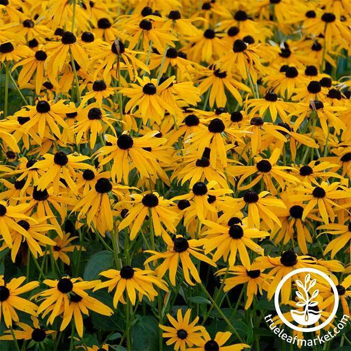 Rudbeckia Goldilocks Seeds