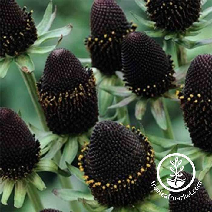 Rudbeckia Green Wizard Seeds