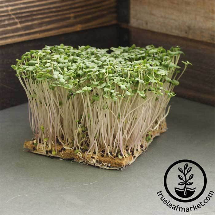 Rutabaga - American Purple Top - Microgreens Seeds