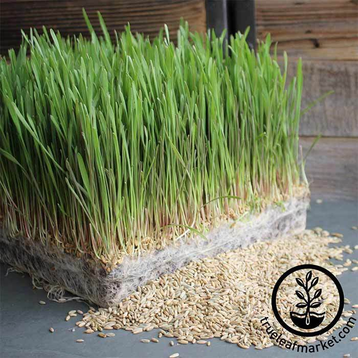 Rye - Winter (organic) - Grass Seeds