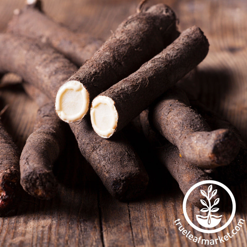 scorzonera black root salsify seeds