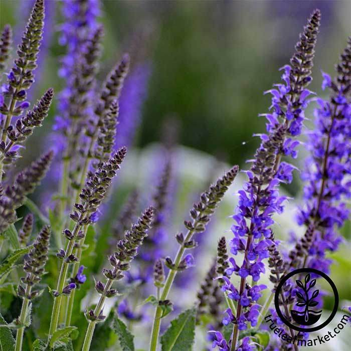 Salvia Queen Series Blue Seed
