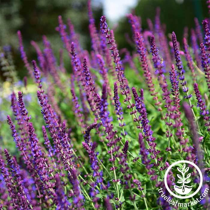 Salvia Queen Series Rose Seed