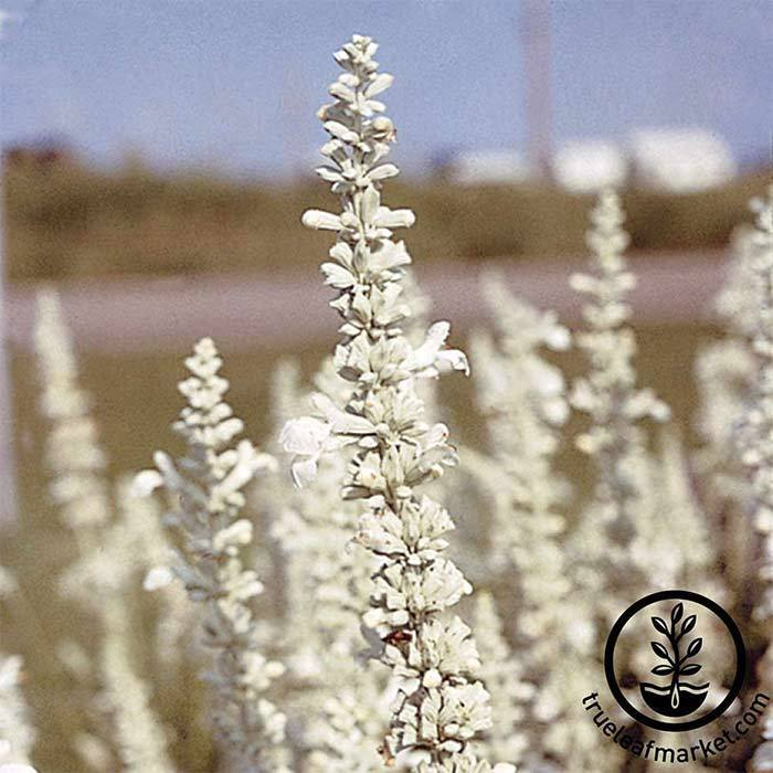 Salvia Victoria Series White Seed