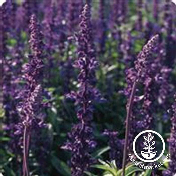Salvia Evolution Violet Blue Seed